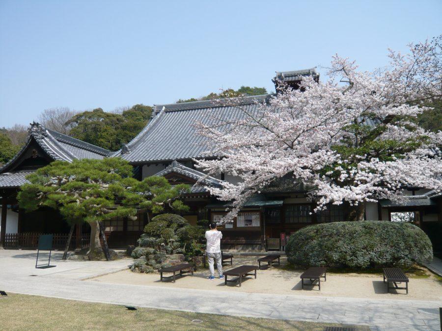 宗務所、方丈と桜