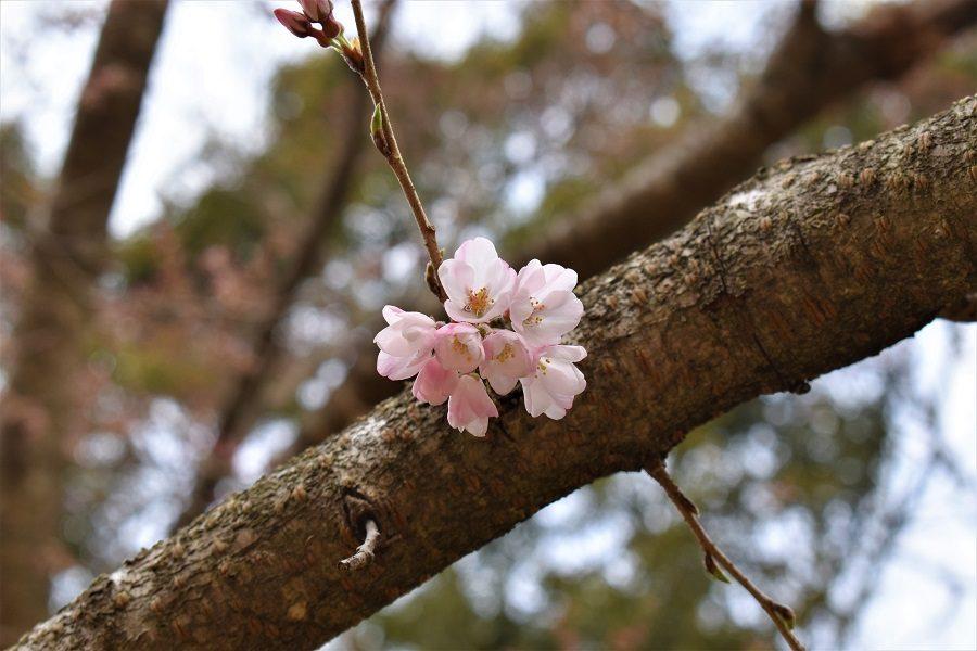 2019年3月22日現在の淡墨桜