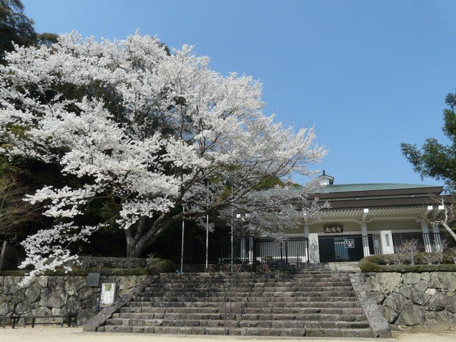 満開の淡墨桜(2018年撮影)