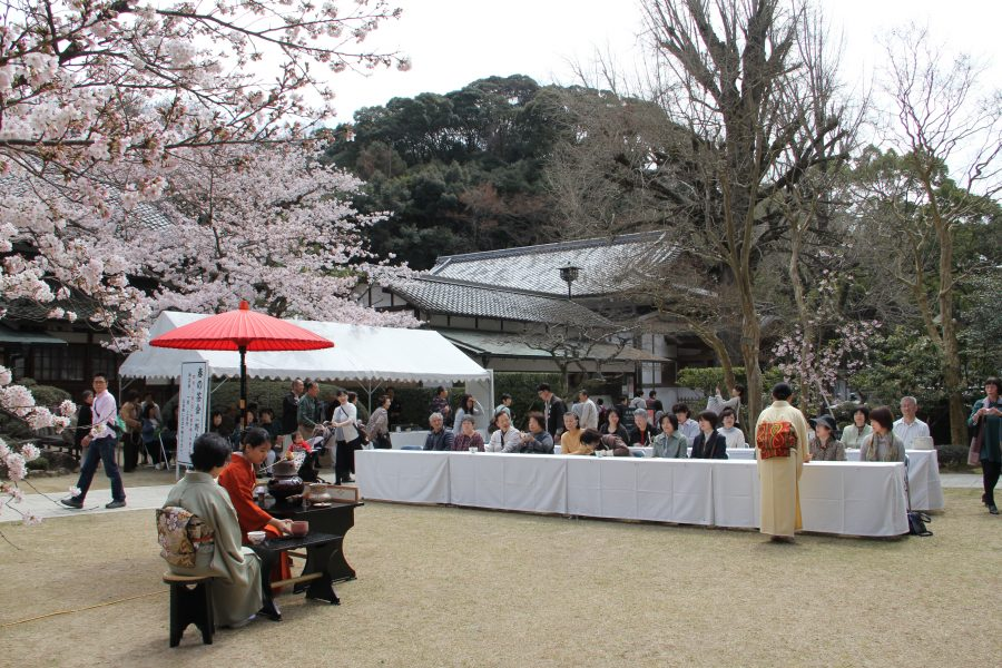 満開の桜の下でのお茶会