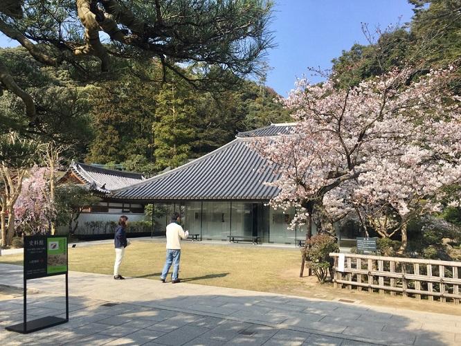 鉄斎美術館別館史料館前のソメイヨシノ