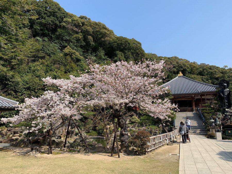 お茶会の広場の桜