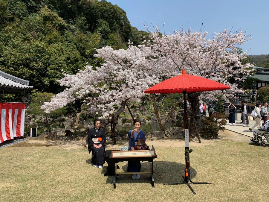 満開の桜の下での野点
