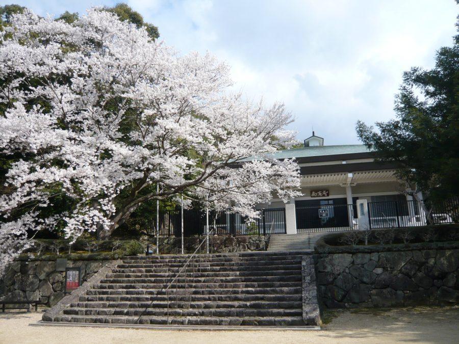 美術館前の淡墨桜