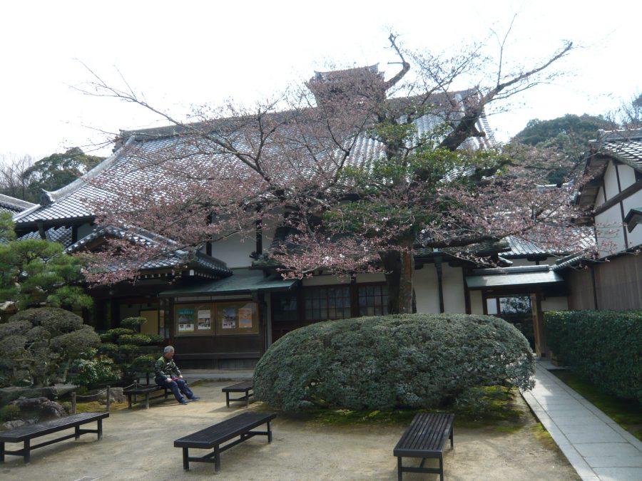 宗務所前の桜