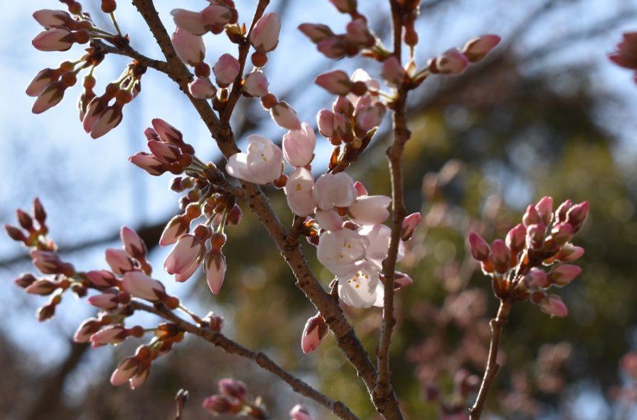 2020年3月17日現在の淡墨桜