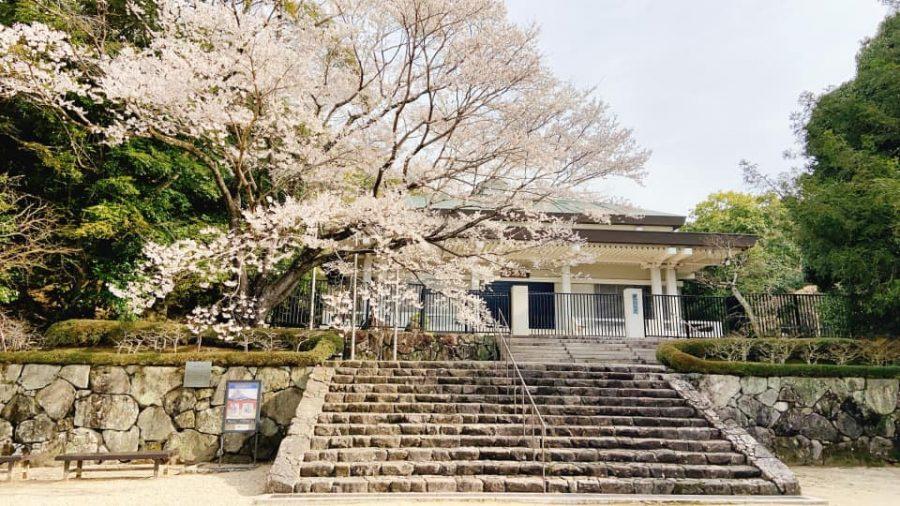 鉄斎美術館「聖光殿」前の淡墨桜
